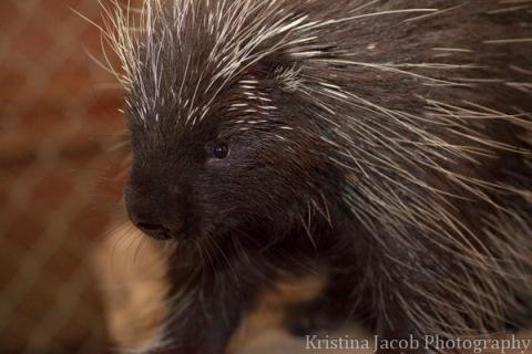 Porcupine profile