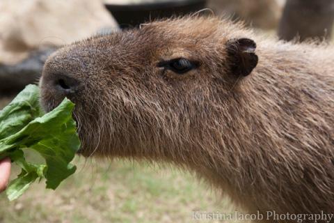 Capybara feeding