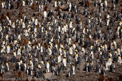 King Penguins, St. Andrews Bay December 2013