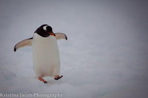 Gentoo penguin Antarctica, December 2013.