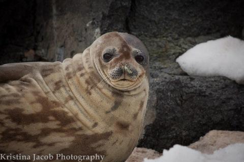 Weddell seal (Leptonychotes weddelli)
