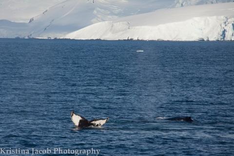 Humpback whales in Dallmann Bay, Antarctica